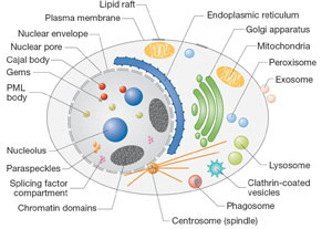 Human Cell Structure And Function CELL BIOLOGY PROTEOMICS