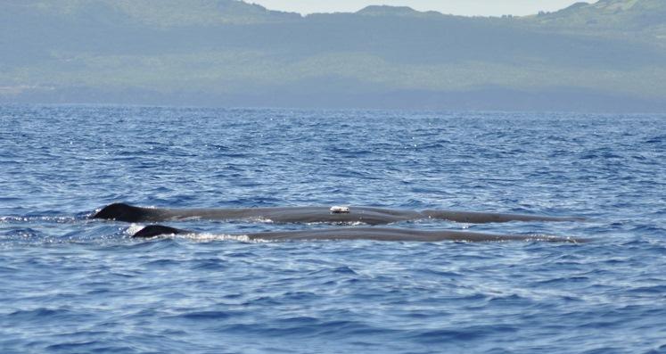 Kaskelothvaler