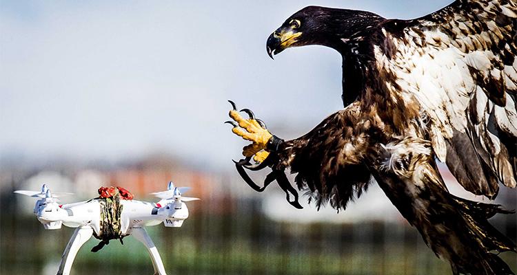 Ørn trænes til at nedlægge drone.