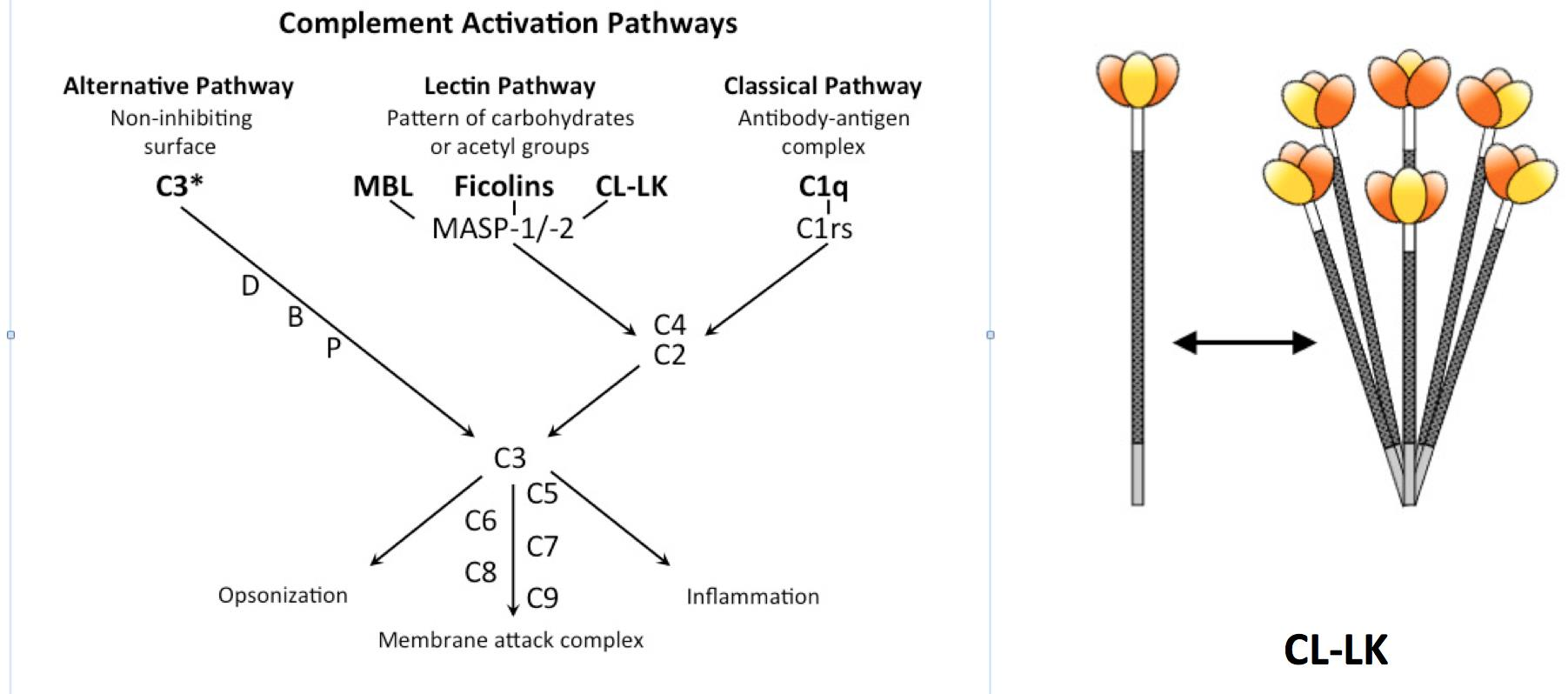 Fig. 1 A) The complement system with its three activation pathways and effector functions. CL-LK is part of the lectin activation pathway and recognizes foreign glycconjugates exposing mannose residues at their terminal position. B) Composition of CL-LK, made of CL-L1 (yellow) and CL-K1 (orange). The colored domains correspond to the lectin / carbohydrate recognition that interact with foreign glycoconjugates.