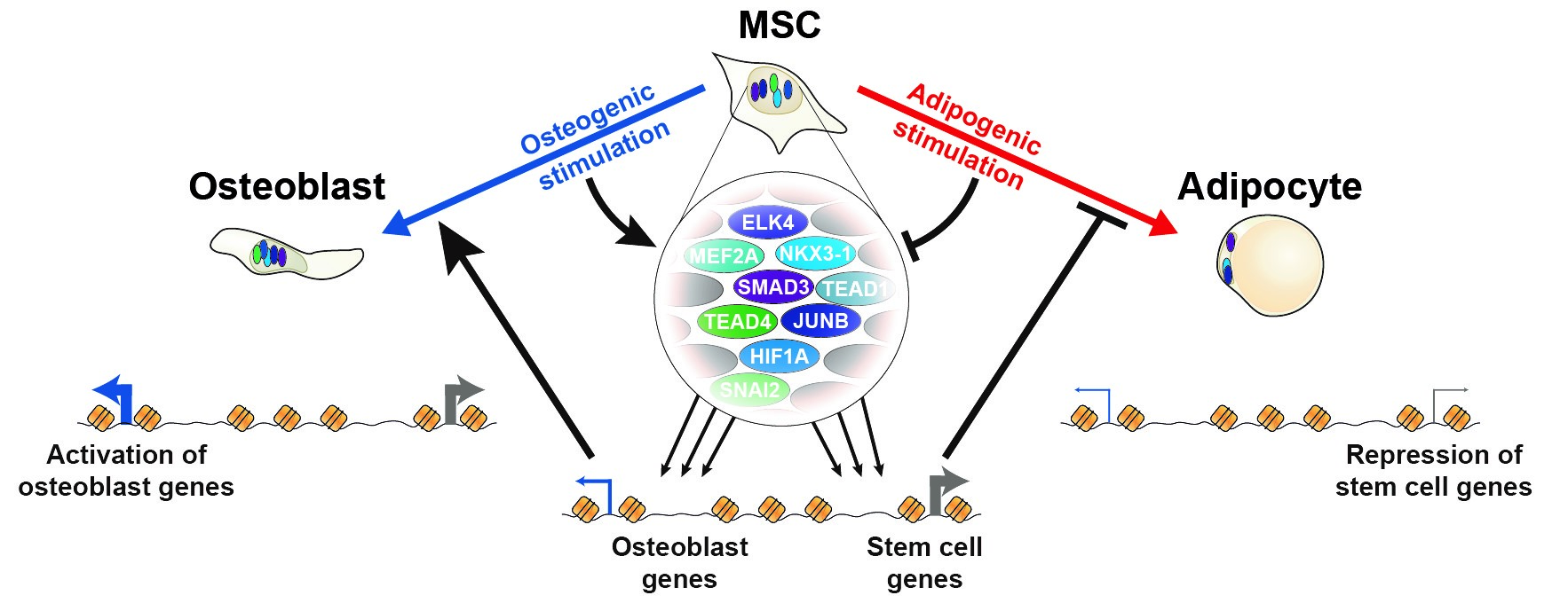 OsteoblastVSAdipocyte